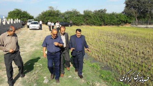 از نخستین مزرعه شالیکاری استان به شیوه ابیاری قطره ای بازدید شد